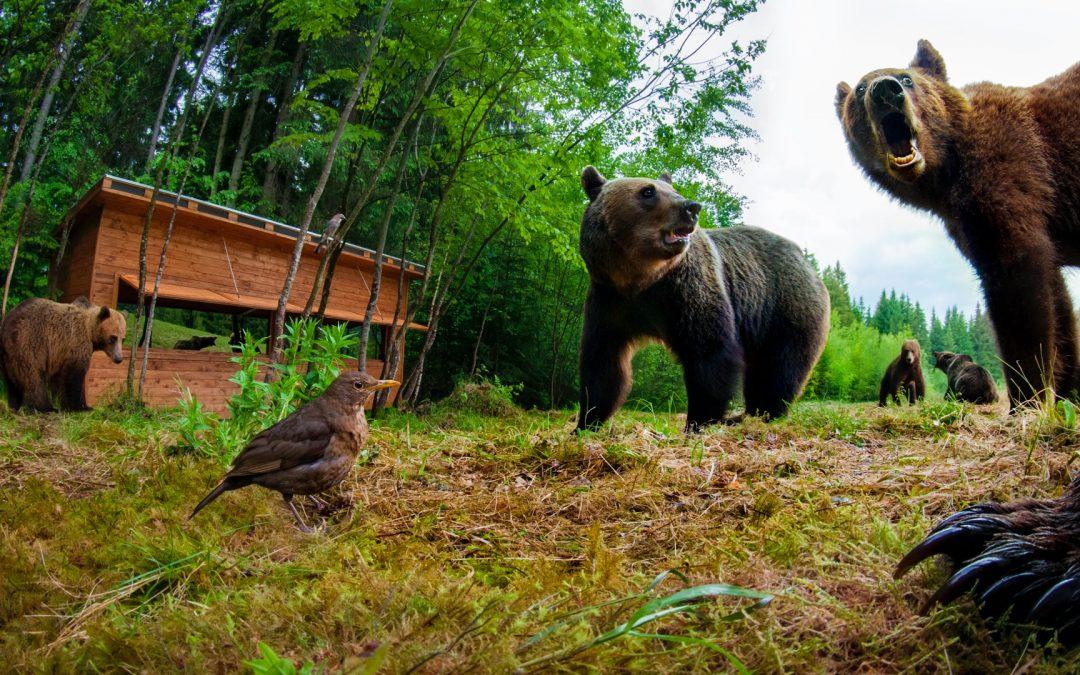 Observatorul de urşi din Băile Tuşnad